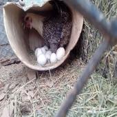 تبوك - لبيع دجاجه فيومي على