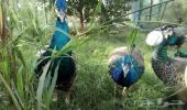 خمسة 5 ازواج طاووس للبيع