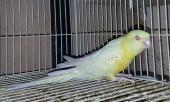 حبتين طيور البراكيت الوان حلوة