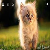 ابي قطه للتبني رقم الجوال 0544655209