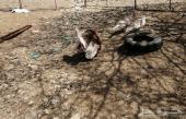 دجاج رومي القنفذة وحول مجارده