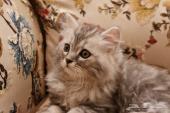 قط شيرازي تم البيع