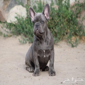 blue frenchbulldog male imported