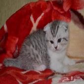 قطط سكوتش فولد مستوردة