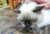 قطة أنثى سيامية  بيور