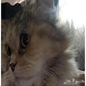 للبيع قط شيرازي انثى