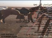 فرس مهره حصان مهر والبيع سمح
