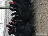 للبيع بلدي دجاج اسود صك بياض