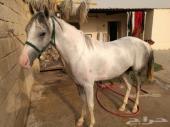 حصان معسوف للبيع