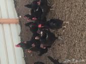 بيض دجاج اسود صك