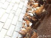 دجاج بلدي للبيع المدينه