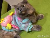 قطة انثى شيرازي للبيع بجدة
