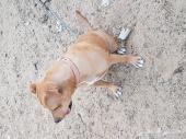 كلب بيتبول أنثى بيور ممتاز
