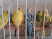 طيور بادجي من انتاجي