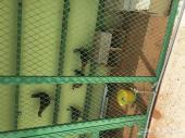 دجاج فيومي اصيل