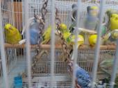 طيور بادجي 20 حبه