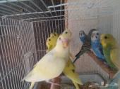 طيور بادجي 10 ازواج