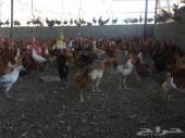 1500 ديوك و1500 دجاج بلدي ومهجن فيومي