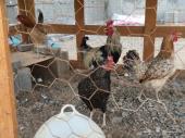 طقم دجاج بلدي بياض (( تم البيع ))