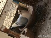 حمام روماني ازرق ستنايت مشروط محضن على البيض