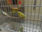 جوزين طيور حب للبيع او البدل بجوز كروان اليف