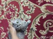 قطط  شيرازية للبيع