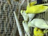 5 اجواز طيور حب (بادجي ) عيون حمراء