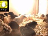 صوص دجاج بلدي  الحبه ريال عرض
