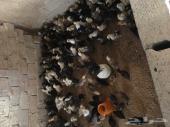 صوص دجاج بعمر شهر