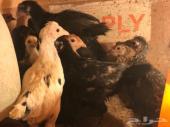 بيض للأكل - صوص - دجاج بلدي - ديوك