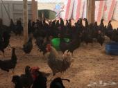 دجاج بياض اسود تم البيع الله يبارك للمشتري