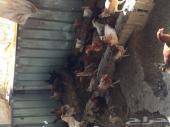 مزرعة دواجن للتقبيل