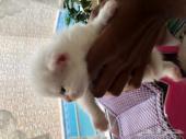 قط شيرازي وقطةشيرازيه