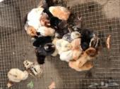 للبيع صوص دجاج بلدي فواخر