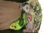 زوج طيور حب هولندي جامبو بفروخه