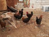 بيض بلدي مخصب ودجاج بلدي