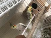 للبيع طيور كروان اليف
