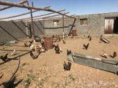 دجاج بلدي  العدد 270