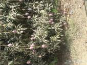 مزارع ومشاتل ابو القاسم جميع انواع الشتلات