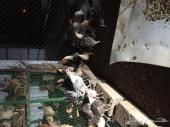 دجاج فيومي طيب للبيع
