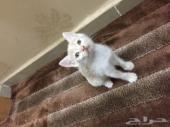 خمس قطط صغيره