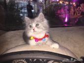 قطه شرازي للبيع