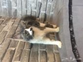 قطة شيرازي مهجن