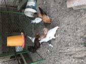 دجاجه بلدي بفروخها