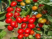 بذور الطماطم الكرزية ( 3 أنواع )