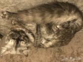 قطتين ذكر و انثى