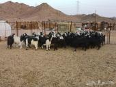 غنم عدد 30 رأس للبيع