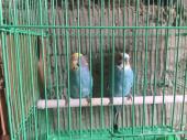 زوج بادجي طيور الحب ازرق