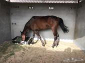 حصان إنجليزي خصي