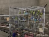 طيور كروان وطيور حب وكناريات  محافظه مرات
